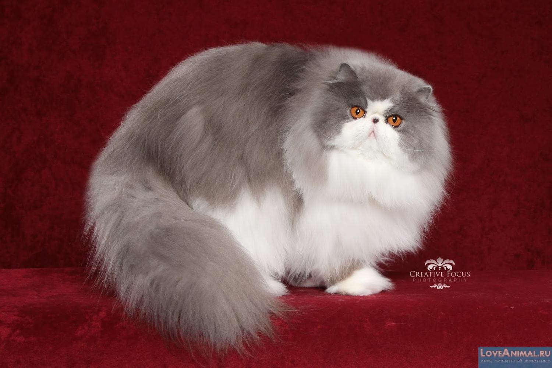 фото персидские кошки скачать