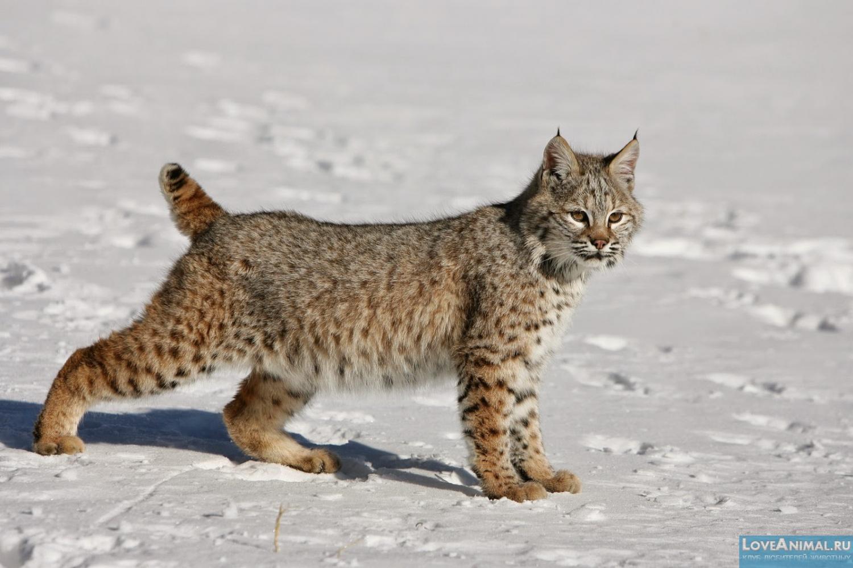 Кошки породы как рысь