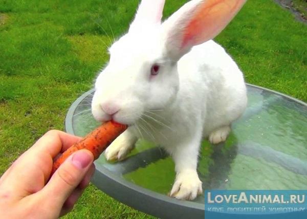 белый кролик ест вишню видео