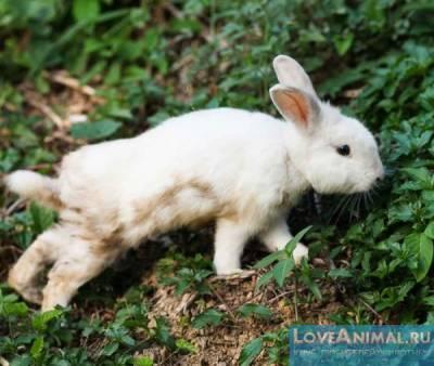 Трава сныть для кроликов, полезное дополнение к рациону