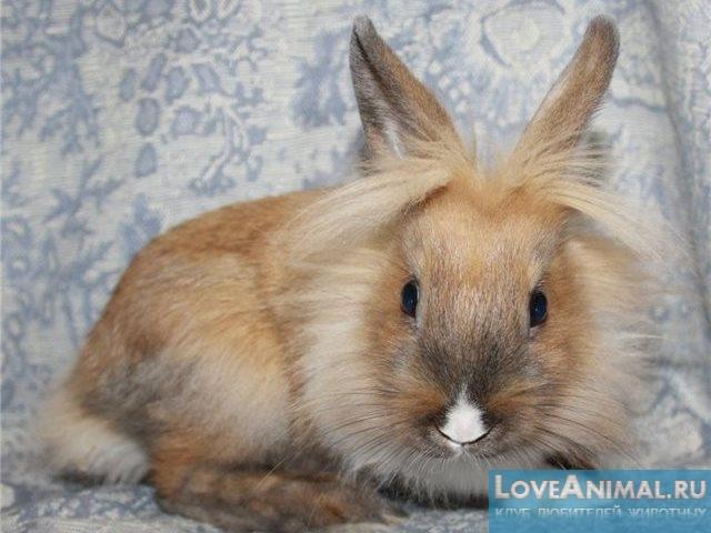 Фото породы кроликов львиная головка