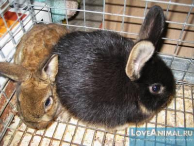 Эймериоз у кроликов