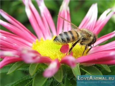 Хлористый кобальт для пчёл - инструкция по применению