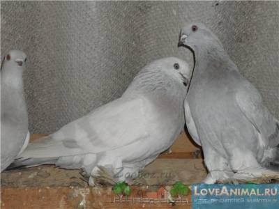 Касаны — невероятные голуби-артисты 22